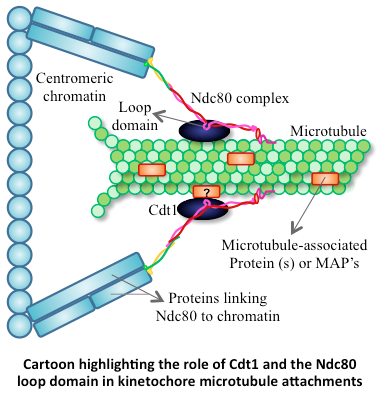melanophores and microtubule monorails insights into Clip-170 has recently also been shown to be involved in the capture of xenopus melanophores for [43 x structural and mechanistic insights into microtubule end.